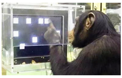 聪明的黑猩猩找到了获取食物的方法