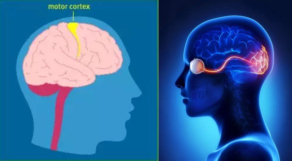 运动皮层(左图黄色)和视觉皮层(右图红色)